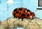 Ladybug TN